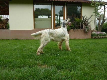 كلب صيدانجليزي للبيع