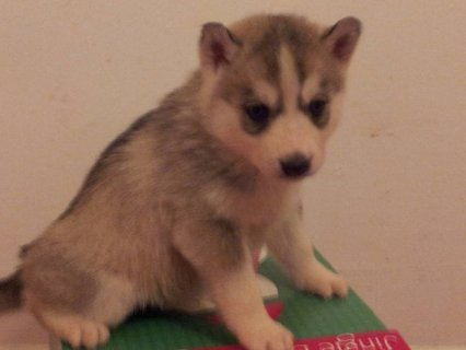 AKC Siberian Husky Christmas Puppies
