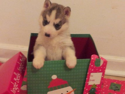 AKC Siberian Husky Christmas Puppies -