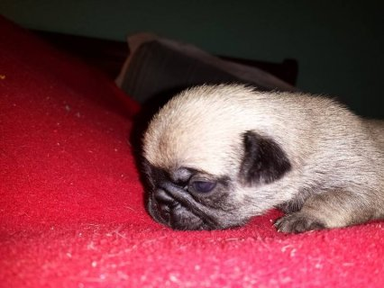 صور AKC Pug Puppies - Ready January 1