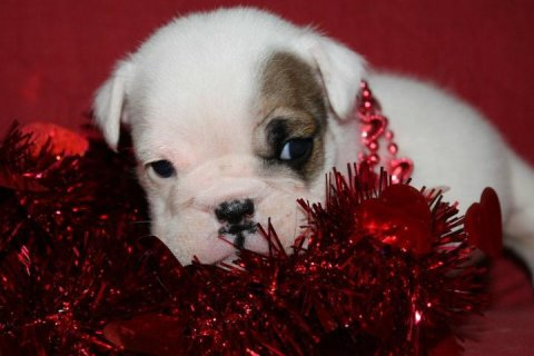 Male And Female English Bulldog Puppies For X-Mas