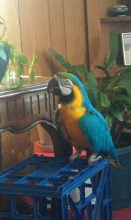 Male Blue and Gold Macaw 8 years