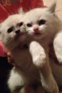 صور RAGDOLL-Beautiful Ragdoll kittens--Rehoming) 1