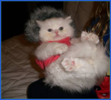 Persian himalayan kittens for sale
