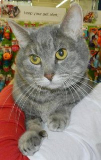 Domestic Short Hair - Gray - Diamond - Small