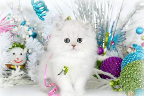 Teacup Persian Kttens for Sale389