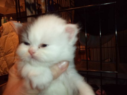persians for christmas only 2 left45