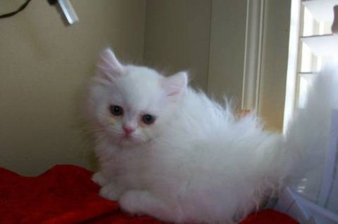 white persian napoleon new persians born
