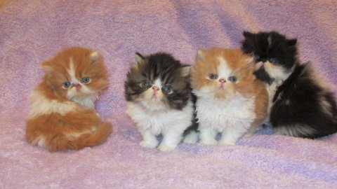 BEAUTIFUL PERSIANS KITTENS, 10 WEEKS OLD.READY FOR CHRISTMAS5e