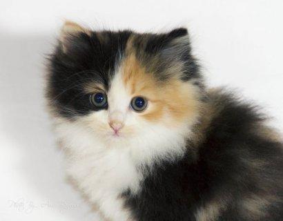 قطط شيرازي هاف بيكي صغيرة للبيع !!! Kittens for sale
