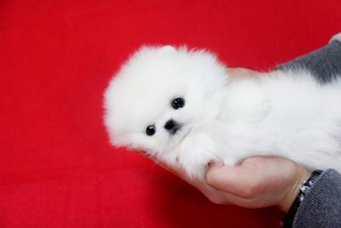 Adorable Male and Female Tiny Teacup Pomeranian Puppies For Adop