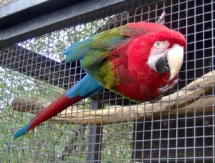 CUTE DNA TESTED GREEN WING MACAW PARROTS FOR NEW HOMES.