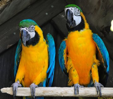 A pair of blue and gold macaw for you