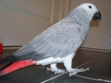 talking african grey parrot for rehoming.