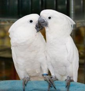 Cute talking umbrella cockatoo parrots