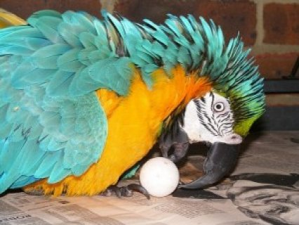 صور Baby Blue and Gold Macaw for Sale for Christmas 1