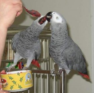 well trained african grey parrots need a new home