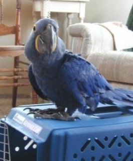 Well Tamed Hyacinth Macaw Parrots Available
