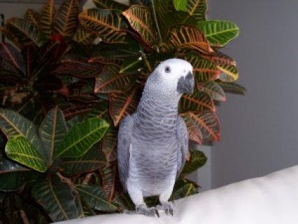 Talking African Grey Parrot Available