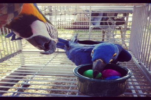 Blue & Gold Macaw Babies - Blue, Gold Blue and Gold Macaw and Ba