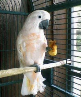 Weaned baby parrots and fresh candle tested fertile parrot eggs