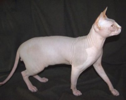 Two Sphynx kittens for sale