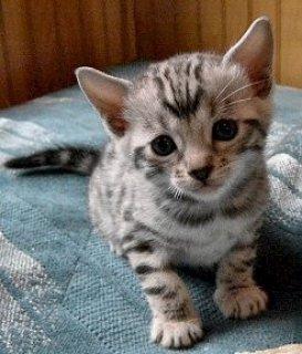 Lovely face Bengal kitten readyn for adoption