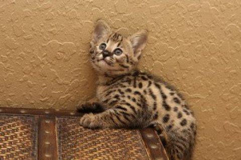 Beautiful Savannah kittens tica reg f2  We have two litters of b