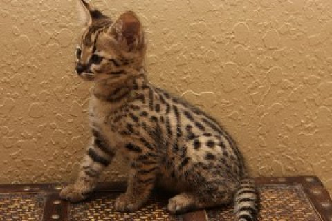 Stunning Savannah Kitten Available