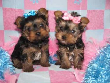 Cute Male and Female Yorkshire puppies