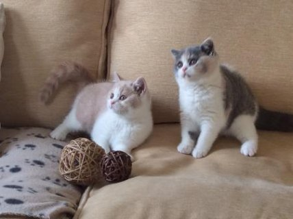 cute British shortshair kittens for sale