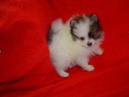 2 Pomeranian Puppies