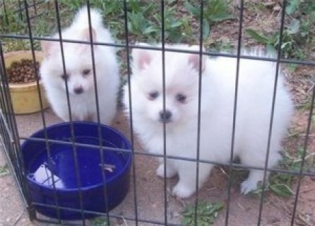 Pomeranian puppies for adoption..