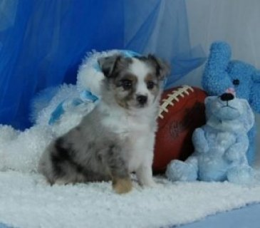 Cute Purebred Aussie Shepherd Puppies available