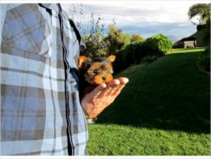 Gorgeous AKC Yorkie Puppy for Sale - 10 Weeks