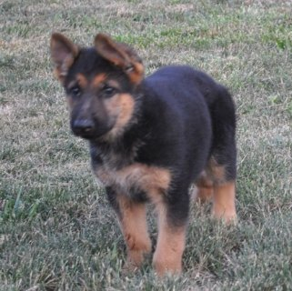 صور Healthy German Shepherd Puppies for Adoption 1