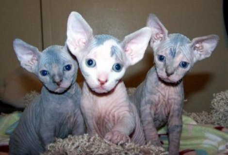 Sphynx kittens ready