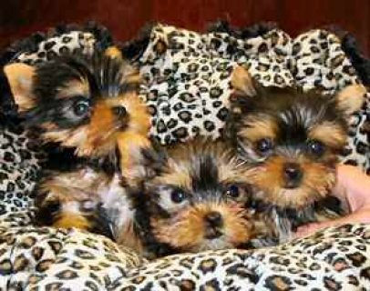 WELL TAMED TEACUP YORKIE PUPPIES FOR SALE