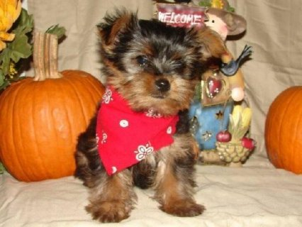 2 Micro pocket teacup Yorkie puppies