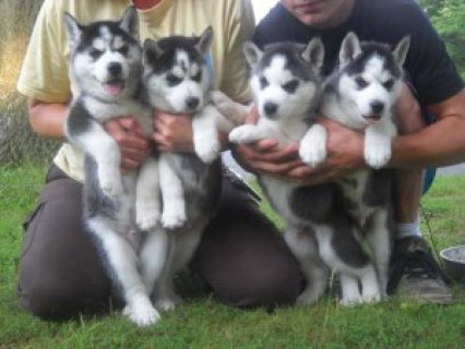 صور Blues Eyes Male and Female Siberian Huskies Puppies 1