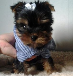 Adorable Yorkie puppies for sale7