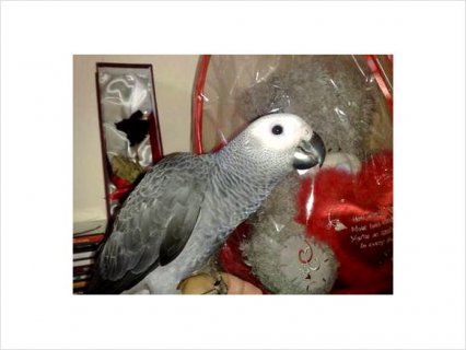 Super Cute African Grey Parrots For Adoption1