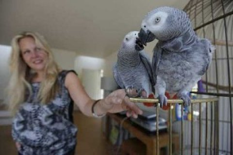 2 Congo African Greys for Adoption