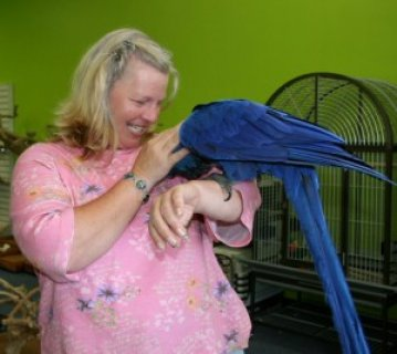صور Hand Tamed Hyacinth Macaw Parrot for Adoption 1
