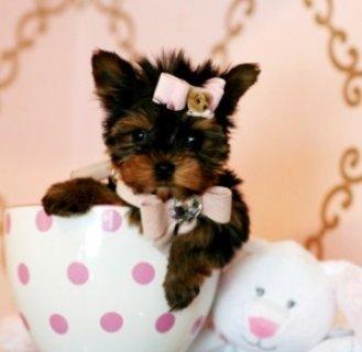 Precious Tea-cup Yorkie2