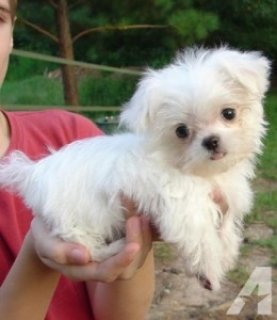 Playful Teacup Maltese Puppies1