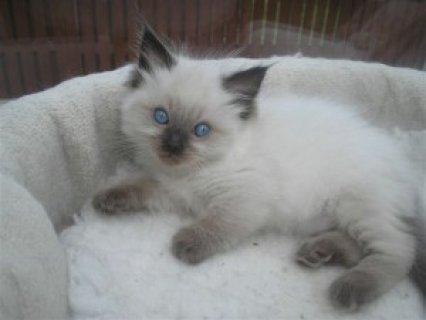 Ragdoll Kittens Ready for Christmas23