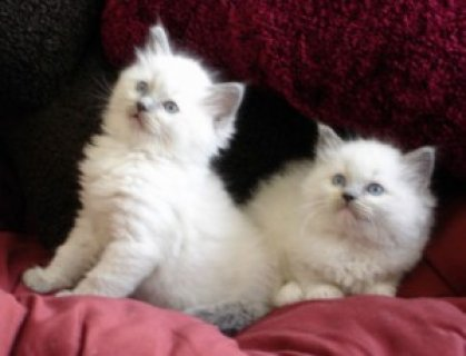صور Pedigree Ragdoll Kittens3 1