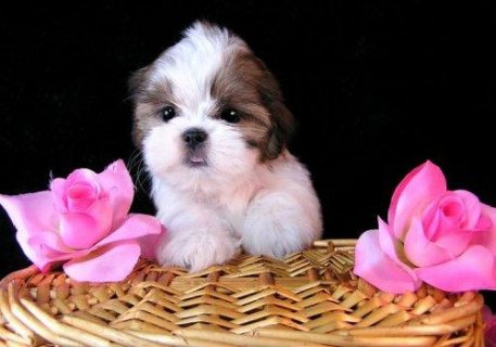 Healthy Home raised shih utzu puppies  available
