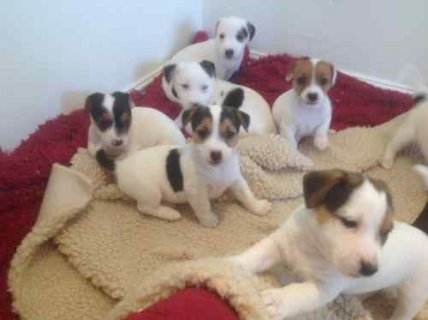صور Ready Now Jack Russel Puppies, Male & Female,  1